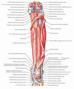 Leg Muscle Diagram