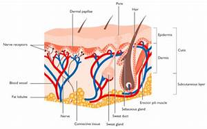 Related Keywords  U0026 Suggestions For Labeled Skin Diagram