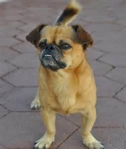 Pekingese Chihuahua Mix Puppies