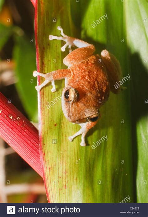 coqui frog stock  coqui frog stock images alamy