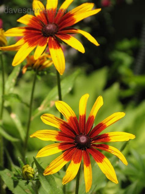 plantfiles pictures rudbeckia black eyed susan gloriosa daisy autumn colors rudbeckia