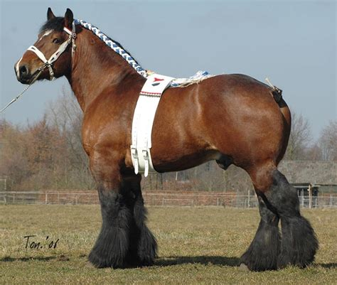 draft horse dutch horses breeds percheron clydesdale draught vs breed heavy heaviest stallion hands shire pethelpful strong belgian ardennes pretty