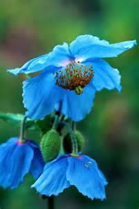 Himalayan Blue Poppy Flower