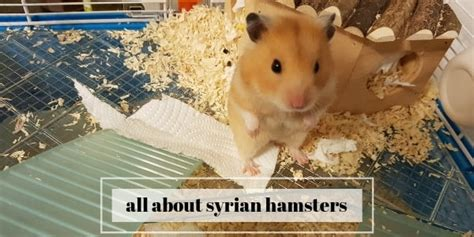 Hamster has thick, silky fur that can be uniformly black, grey, creamy, white, brown, yellow or red. Hamster Facts Sheet - I M A Hamster Master Illustrated Care Guide And Activity Book For Children ...