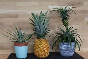 Tropische Pflanzen Kaufen : ampelschirme g nstig online kaufen bestellen ananas einpflanzen ananas pflanzen und pflanzen ~ Watch28wear.com Haus und Dekorationen