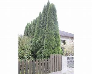 Olivenbaum Stecklinge Kaufen : lebensbaum schneiden affordable lebensbaum schneiden with ~ Michelbontemps.com Haus und Dekorationen