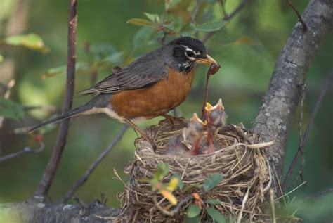 discover nature bird nesting peaks kbia