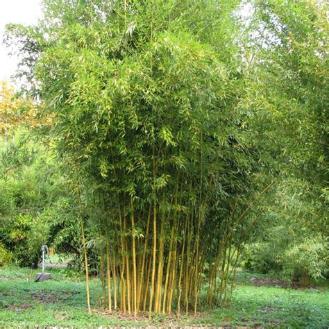 bambou phyllostachys aurea en pot plantes et nature