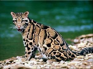 Ocelot Animal | Facts Information & Latest Pictures | All ...