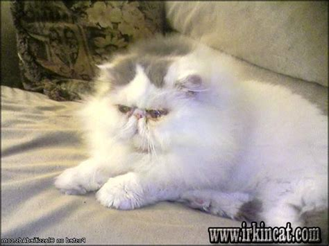 Sensitive Information About Persian Kittens For Sale In Pa