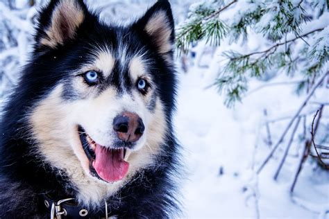 Slee Honden by Free Photo Husky Snow Dog Sled Dog Animal Free Image