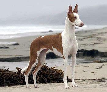 ibizan hound dear  dog