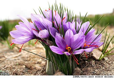 saffron flower saffron food book s blog