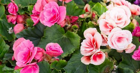 when do begonias bloom planting tuberous begonia bulbs for showy bloom