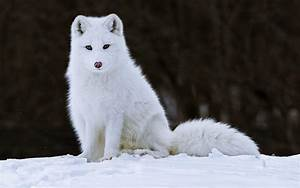 White Fox HD Wallpaper by HD Wallpapers Daily