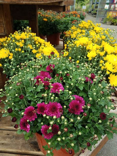 Plant Hardy Mums for Fall Color — Masterson's Garden ...
