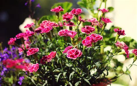 Carnations Desktop Background 2500x1667 9038.jpg ...