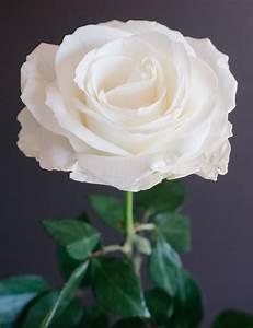Popular white rose variety Tibet. | Popular White Rose ...