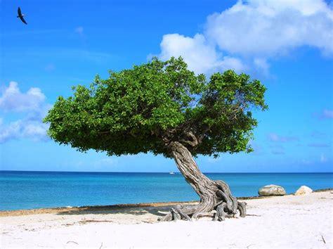 Divi Divi Tree Bird Nikon Divi | Aruba beach, Aruba island, Aruba