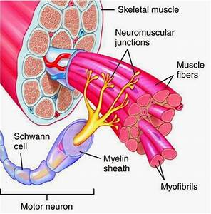 What Is A Motor Unit   U00ab Physio Care