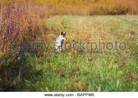 A Lone Coyote (canis Latrans) Isolated Against A White