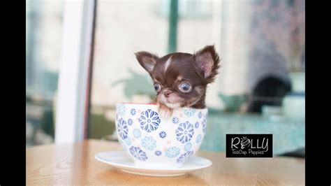 adorable heart attack teacup chihuahua peanut