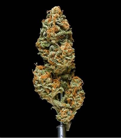 Haze Taste Cannabis Mango Skunk Gifs Smell
