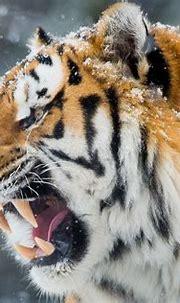 Tiger Roar Teeth, HD Animals, 4k Wallpapers, Images ...