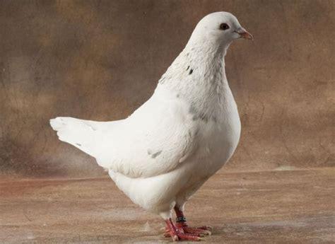 variétés de pigeon à cuisiner