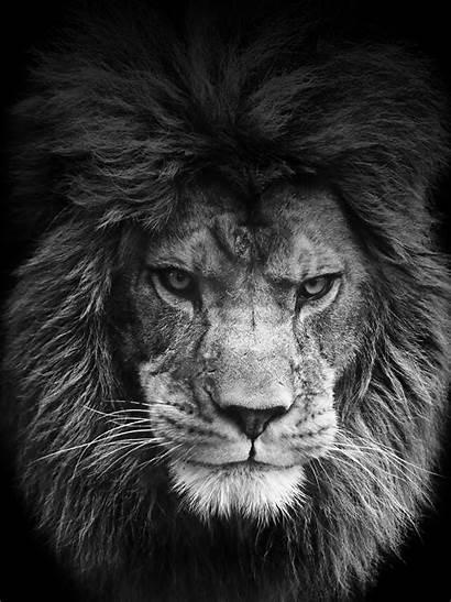 Lion Roar Tablet Desktop Wallpapers Iphone Mobile