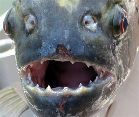 piranha fishes record fish biggest amazon piranhas fishing teeth largest giant attack ever head monster known caught attacks huge river