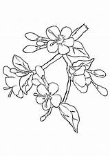Blossom Cherry Coloring Pages Japanese Drawing Branch Tree Flower Printable Apple Chinese Template Getdrawings Peach Awesome Library Clipart Getcolorings Unique sketch template