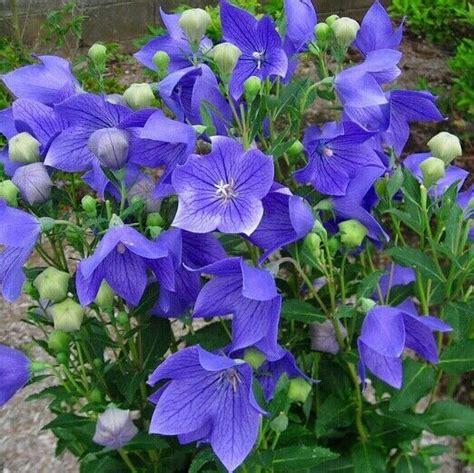 balloon platycodon mariesii blue perennial disease  flower seeds ebay