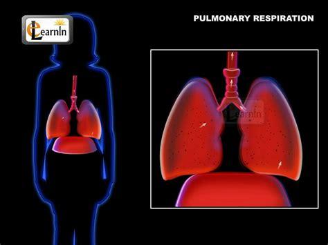 lungs  pulmonary respiration  ventilation  humans