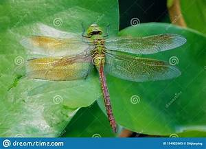 Dragonfly On Water Lily Leaves Stock Image