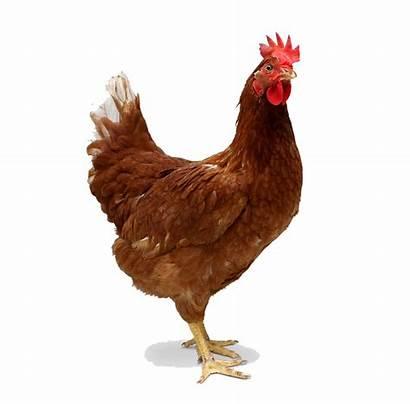 Chicken Transparent Freepngimg Hq