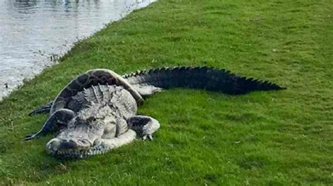 Alligator Python Fight The Death Interrupts Golf Game