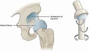 Anatomy Of The Hip  U2013 Osteopathy Singapore