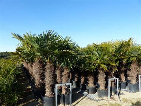 bodenseepalmen olivenbaeume palmen olivenbaum palme
