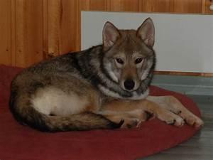 File:Tamaskan Dog on red cushion.jpg - Wikipedia