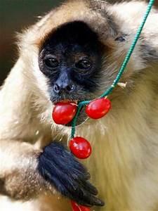 Carmen, a Spider Monkey, Eats Christmas Treats Hung by ...