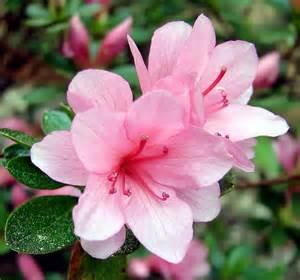 florist dallas azalea blossom 39 dsc04366 39 on black morning everyone