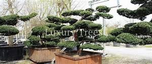 Die Schönsten Gartenbäume : taxus cuspidata bonsai gartenbonsai luxurytrees schweiz ~ Michelbontemps.com Haus und Dekorationen