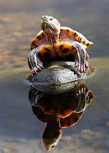 Turtle Water Reflection
