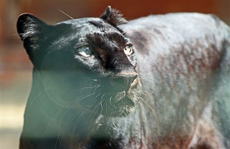 126 best images about zwarte panter on cats