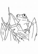 Frog Tadpole Coloring Tree Pages Eye Drawing Cycle Printable Frogs Getdrawings Getcolorings Surinam Parentune sketch template