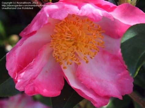 camellia zone 5 plantfiles pictures sasanqua camellia autumn camellia navajo camellia sasanqua by rosinabloom