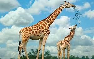 Giraffe | Animal State  Giraffe