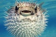 Image result for a blow fish or a puffer fish