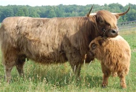 cow colors highland cattle coloring highland cattle coloring